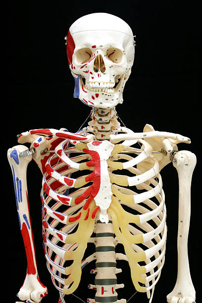 Anterior view of a model human skeleton with color highlights Classroom model of a skeleton facing front with a striking black background and narrow depth of field intercostal space stock pictures, royalty-free photos & images