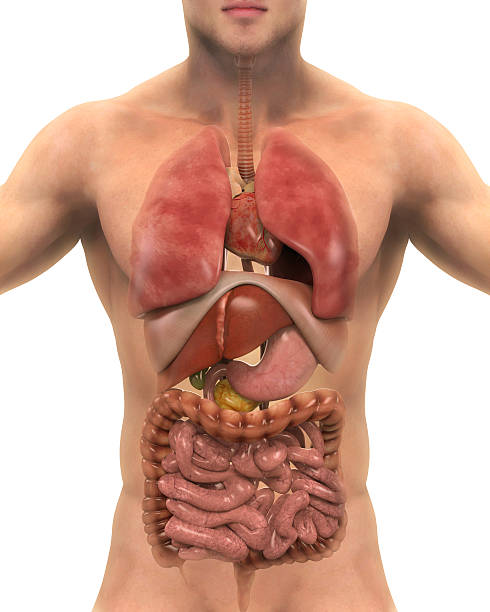 anterior view of human body - human internal organ stock pictures, royalty-free photos & images
