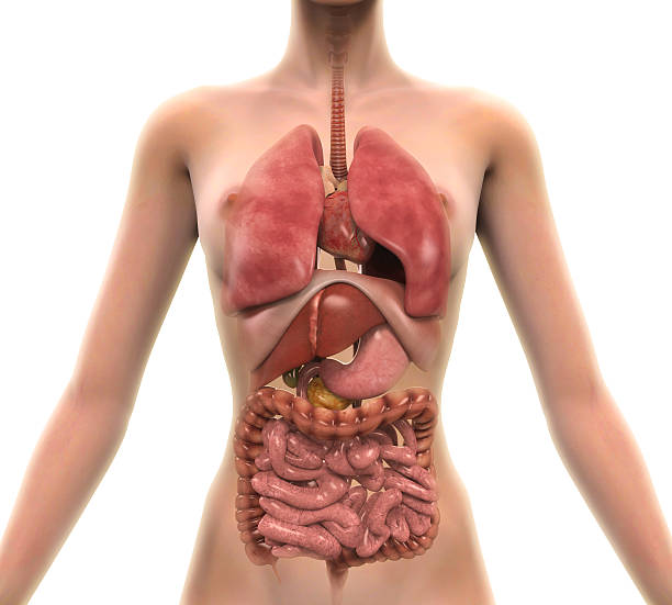 Royalty Free Human Internal Organ Pictures Images And Stock Photos