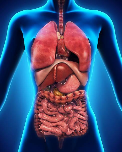 Anterior View of Human Body stock photo
