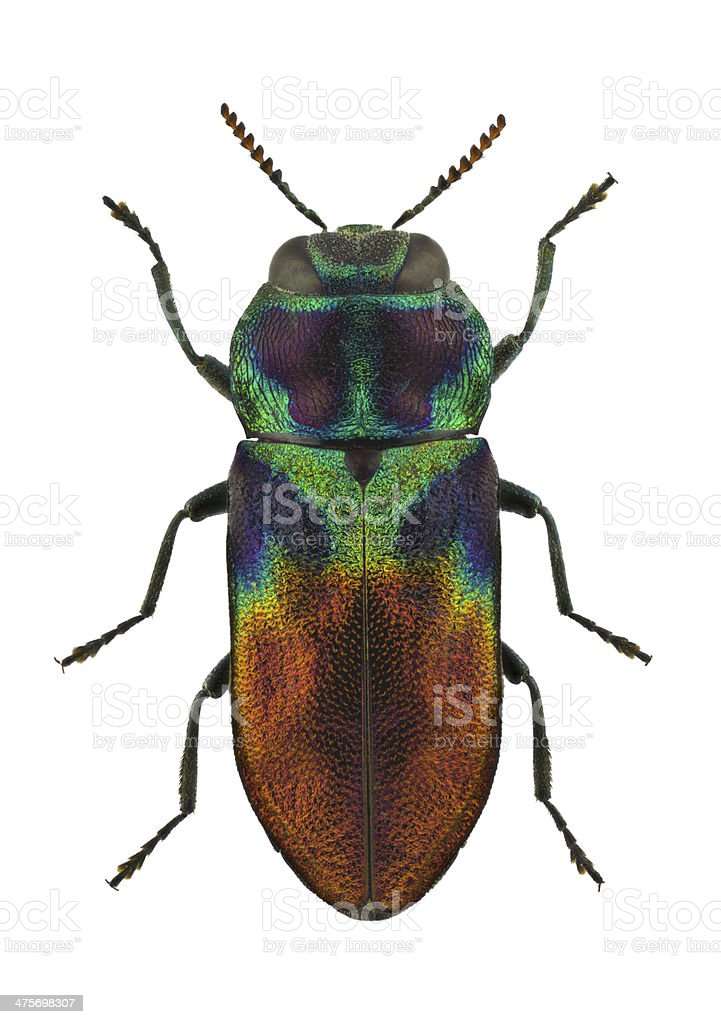 Anthaxia dimidiata jewel beetle isolated on white background stock photo