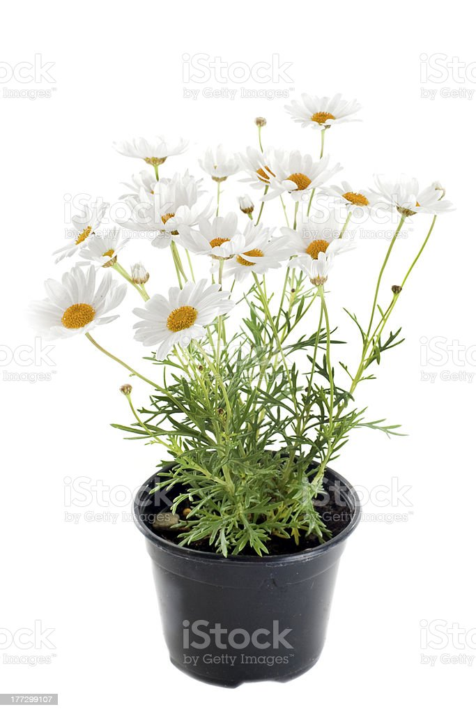anthemis punctata stock photo