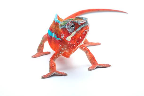 рanther chameleon isolated on white background - kameleon zdjęcia i obrazy z banku zdjęć