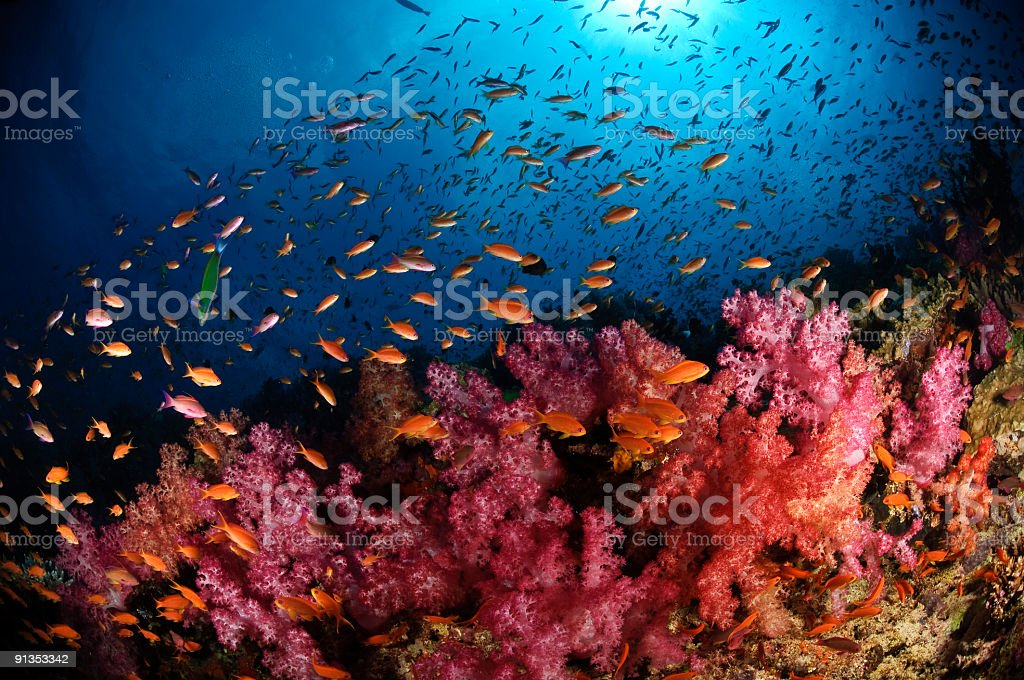 Anthias and Soft Corals stock photo