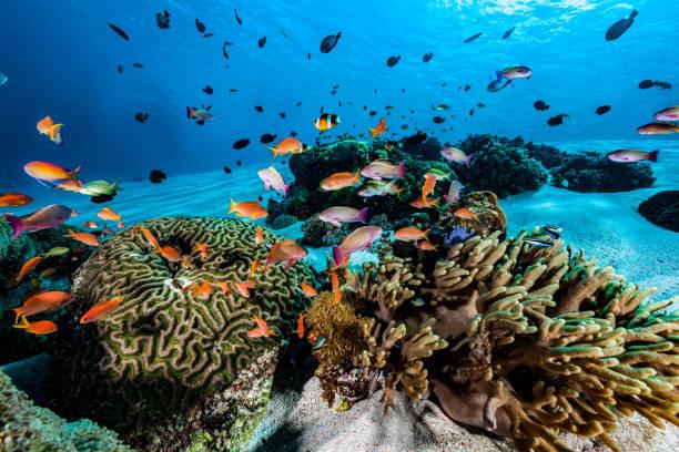 Anthias Fish Meeting at Sandy Reef, Komodo National Park, Indonesia stock photo