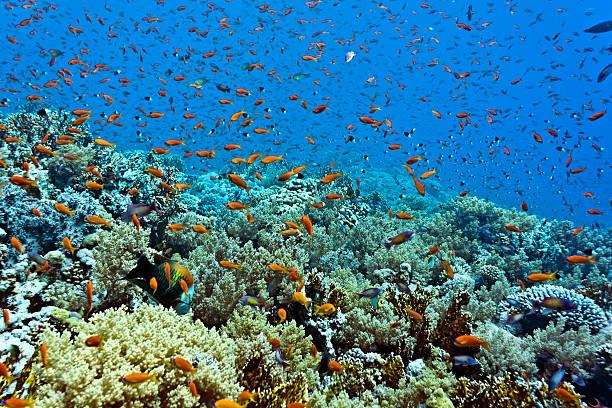 Anthias fish on the reef stock photo