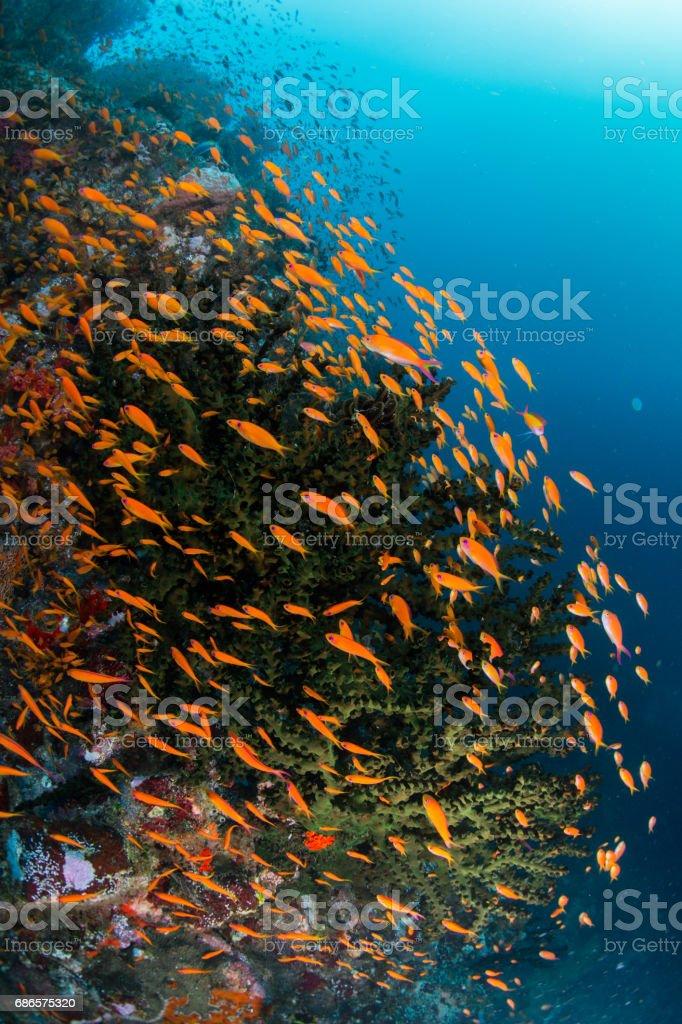 poissons Anthias photo libre de droits