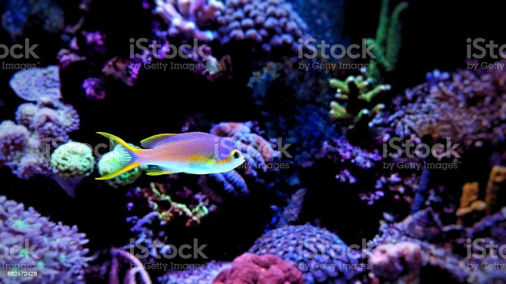 Anthias in Reef Tank stock photo