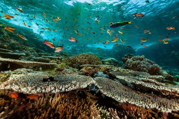 Anthias Paradise, Pristine Hard Coral Reef, Komodo National Park, Indonesia Colourful anthias meeting at a sea mountain called Batu Bolong, many fish species as Jewel fairy basslet (m. & f.) Pseudanthias squamipinnis, Threadfin Anthias (m. & f.) Pseudanthias huchtii, Bluestreak Fusilier Pterocaesio tile, Two-lined monocle bream Scolopsis bilineatus, Ternate Chromis Chromis ternatensis, Moonwrasse (m. & f.) Thalassoma lunare, Two-tone Wrasse (intermediate phase) Thalassoma amblycephalum, Fusilier Damselfish Lepidozygus tapeinosoma, Sergeant-Majors Abudefduf vaigiensis, Lemon Damsel Pomacentrus moluccensis, Chevroned Butterflyfish Chaetodon trifascialis, Eastern Triangular Butterflyfish Chaetodon baronessa, Sixbar Wrasse Thalassoma hardwicke. East of Komodo Island, Indonesia, 8°32'12