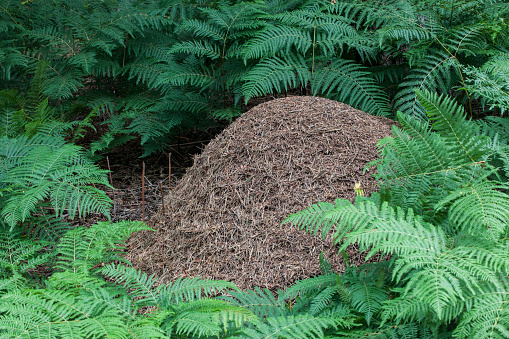 Anthill for Formica Rufa - Wood Ants