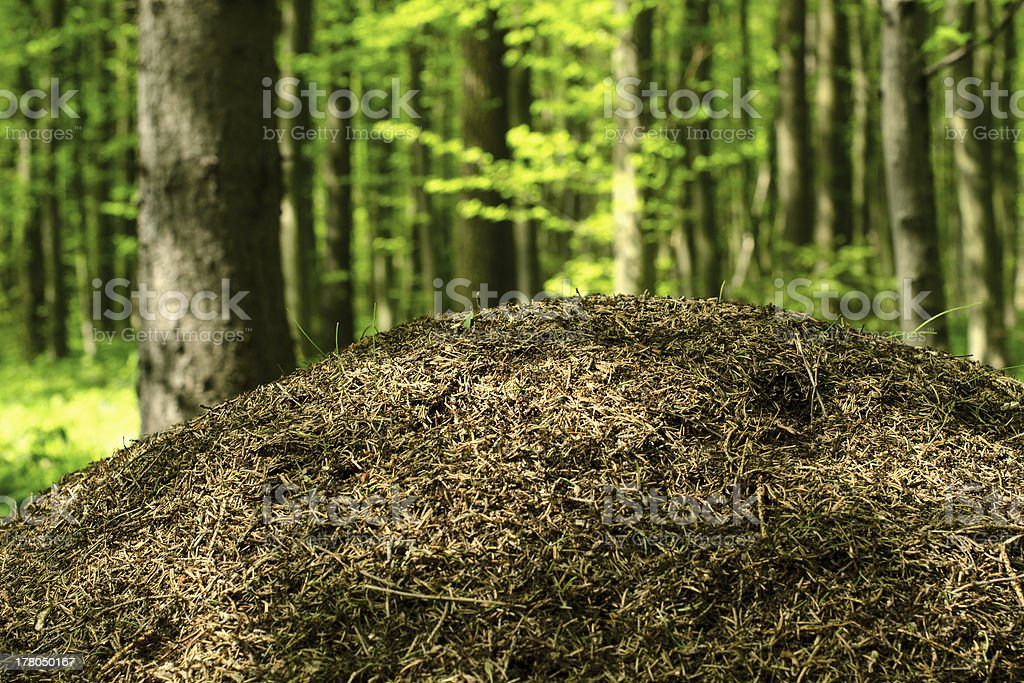 Anthill in the deciduous forest royalty-free stock photo