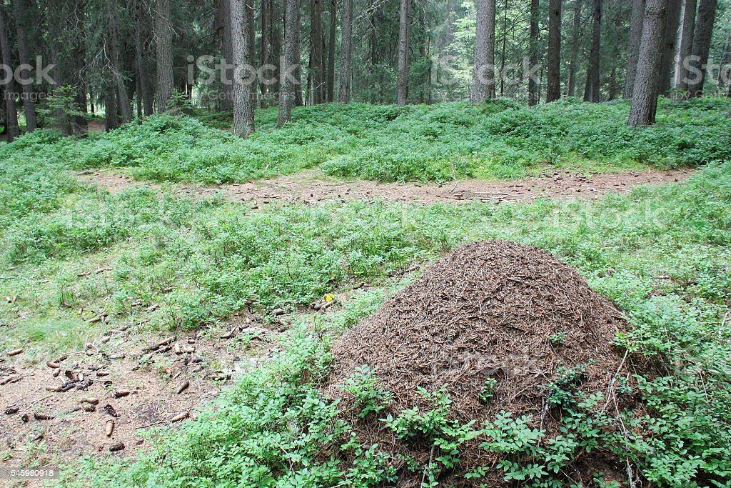 Anthill in the moutain forest (DOLOMITI) stock photo