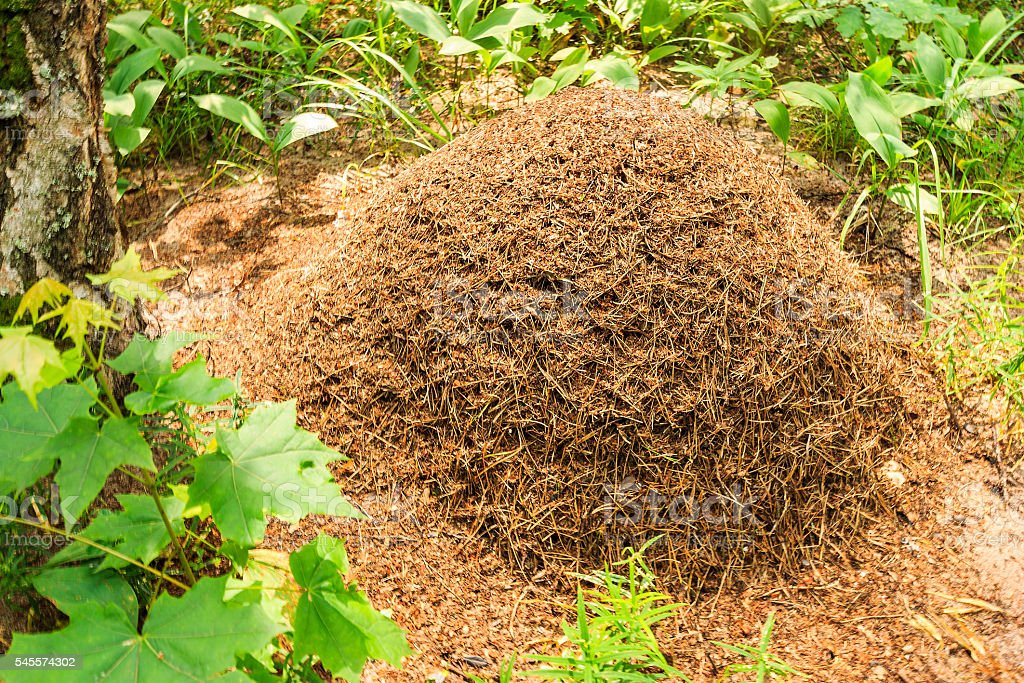 Anthill in the pine forest stock photo