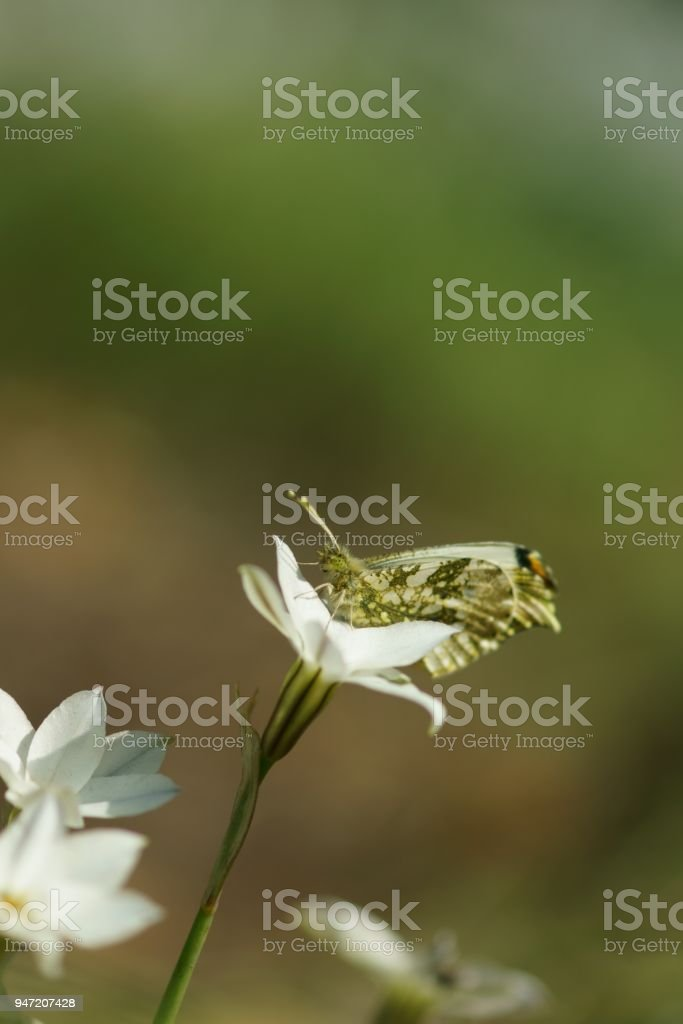 Anthocharis scolymus stock photo