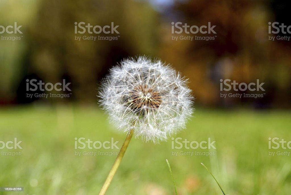 Anthodium of a dandelion. royalty-free stock photo
