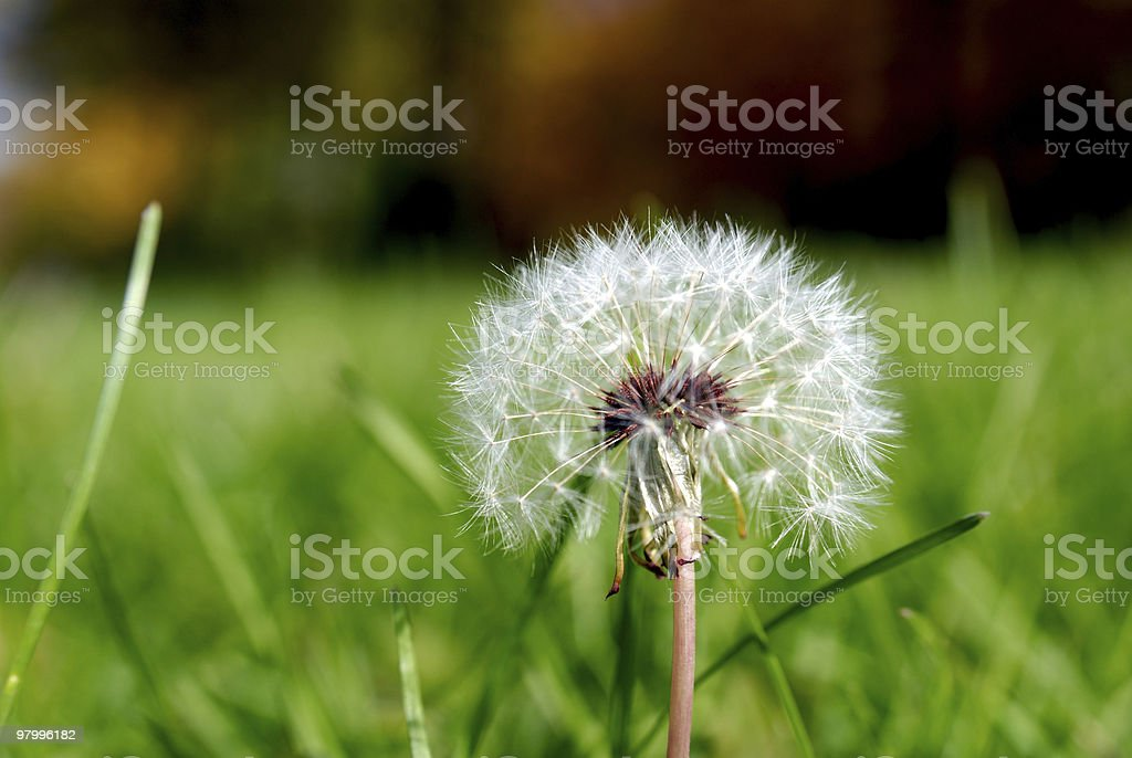 Anthodium of a dandelion. royalty free stockfoto