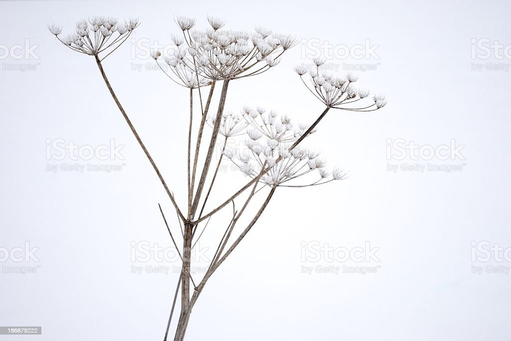 Anthriscus sylvestris - Dried stems in winder, covered with snow stock photo