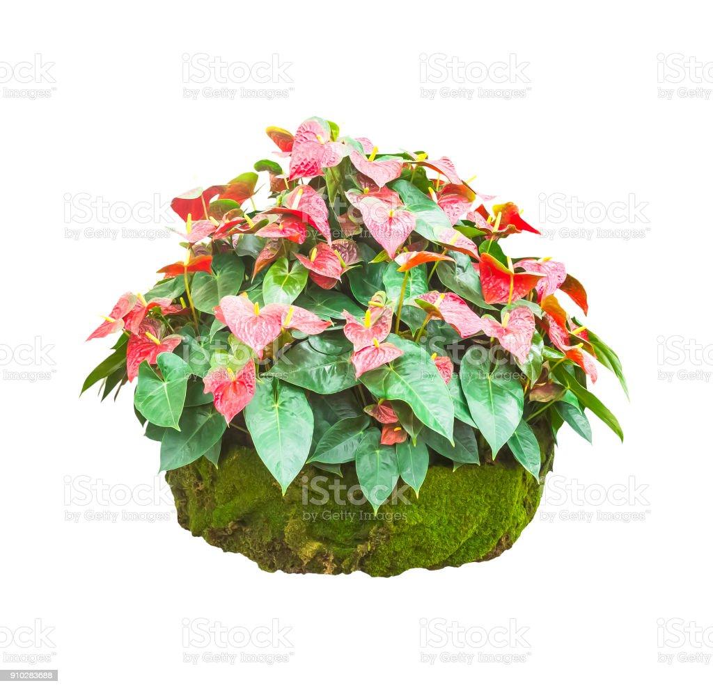 Anthrium or Flamingo flowers isolated stock photo