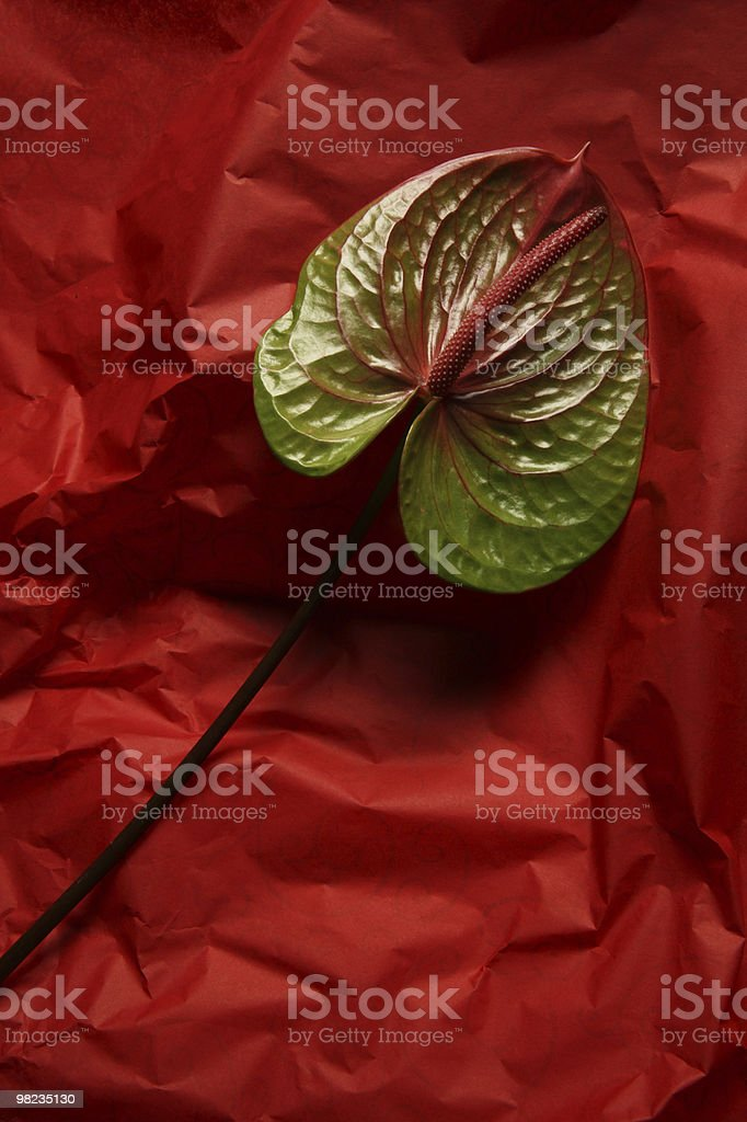 Anthurie Flamingoblume royalty-free stock photo