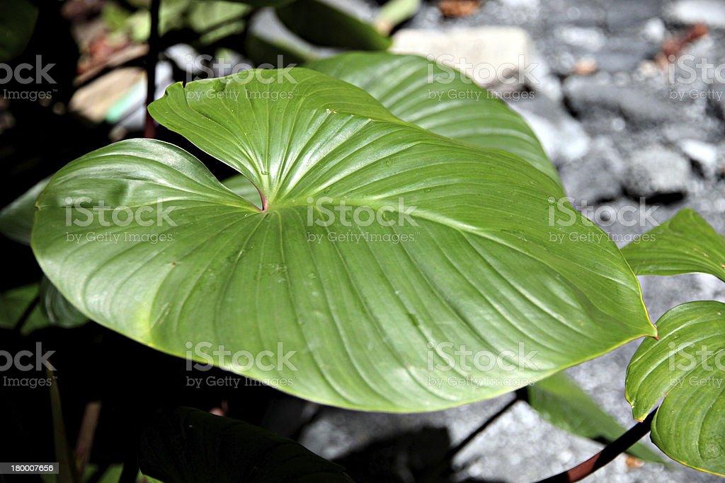 안투리움 andraeanum 잎. royalty-free 스톡 사진