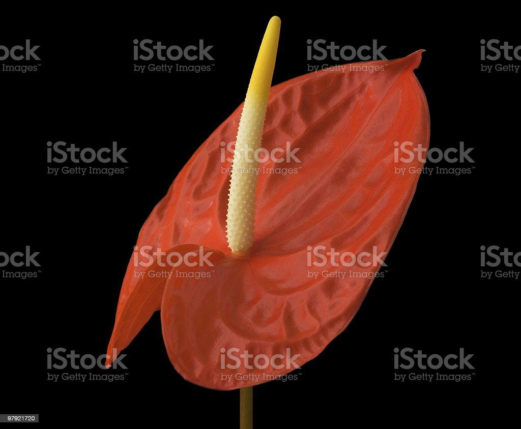 anthurium flower royalty-free stock photo