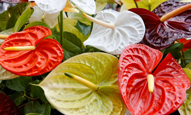 Anthurium flowers Close-up of multicolored anthurium flowers. anthurium white stock pictures, royalty-free photos & images