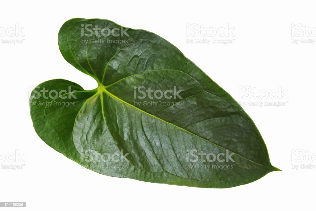 anthurium leaf stock photo
