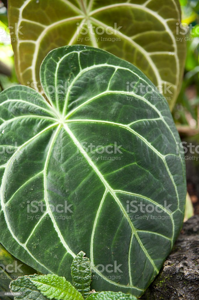 Anthurium magnificum stock photo