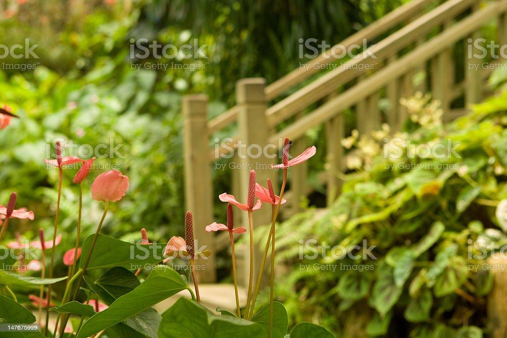 Anthurium royalty-free stock photo