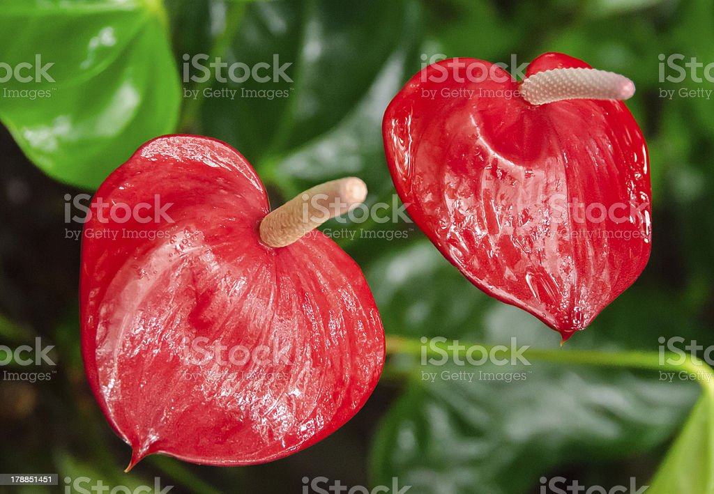 Anthuriums royalty-free stock photo