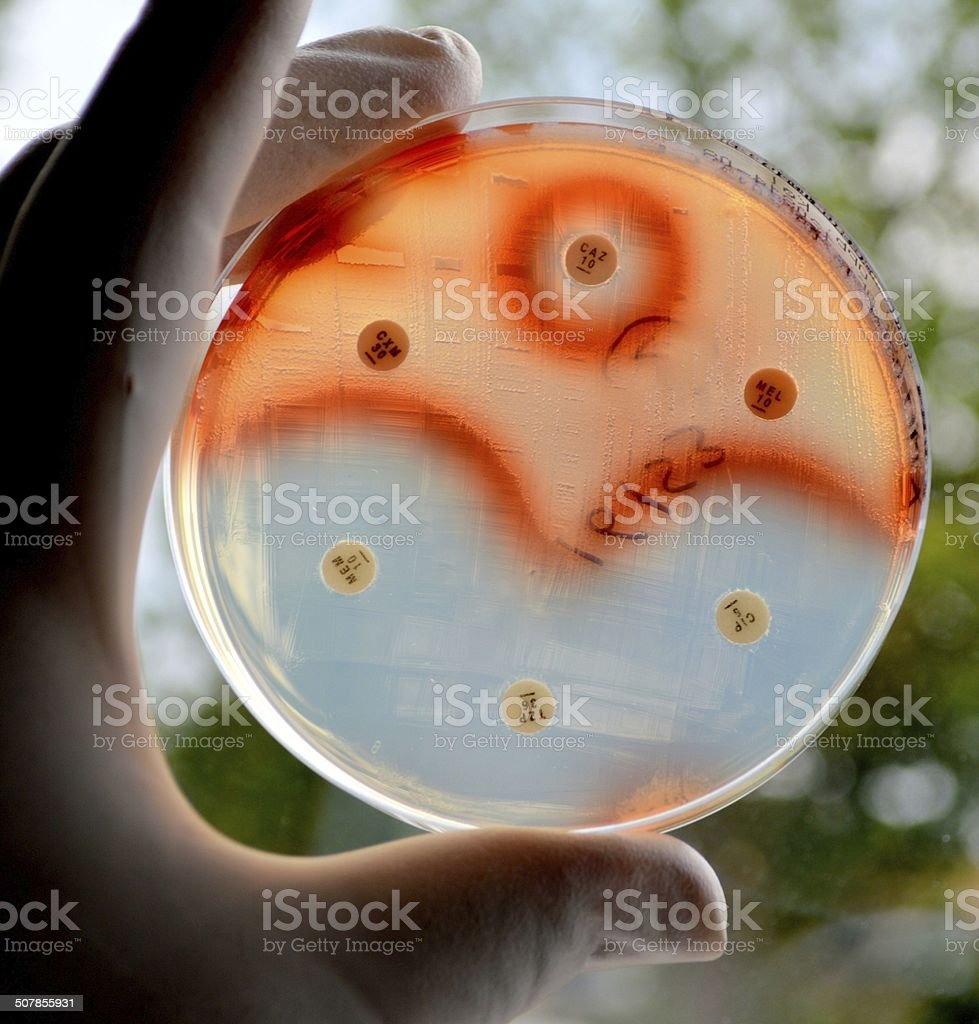 Antibiotic sensitivity test of Serratia marcescens stock photo