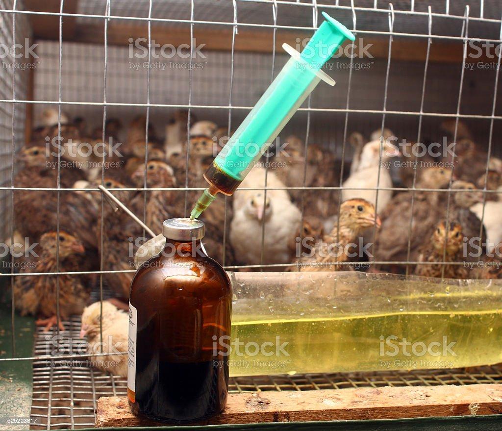 Antibiotic syringe near small quail cage in partridge farm stock photo