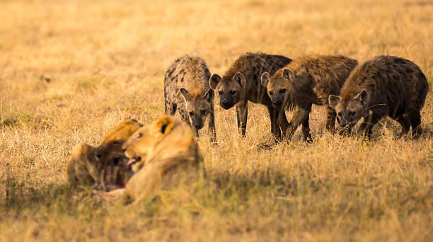 anticipation - hyena stockfoto's en -beelden