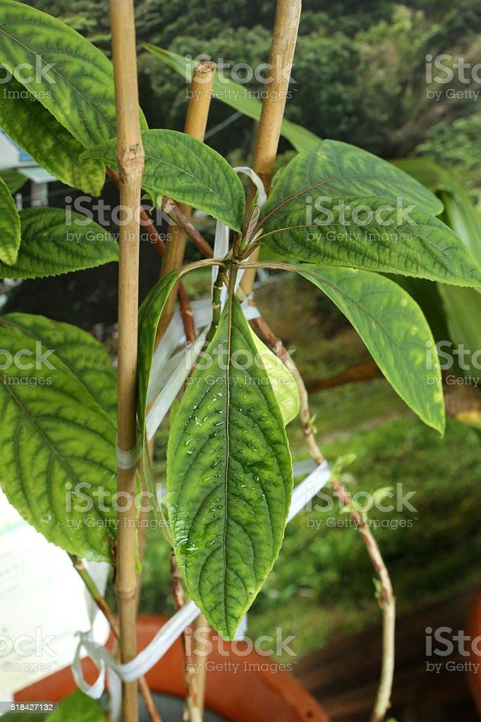 Antifebrile Dichroa - Saxifragaceae - Dichroa Febrifuga Lour Antifebrile Dichroa - Saxifragaceae - Dichroa Febrifuga Lour Chinese Herbal Medicine Stock Photo