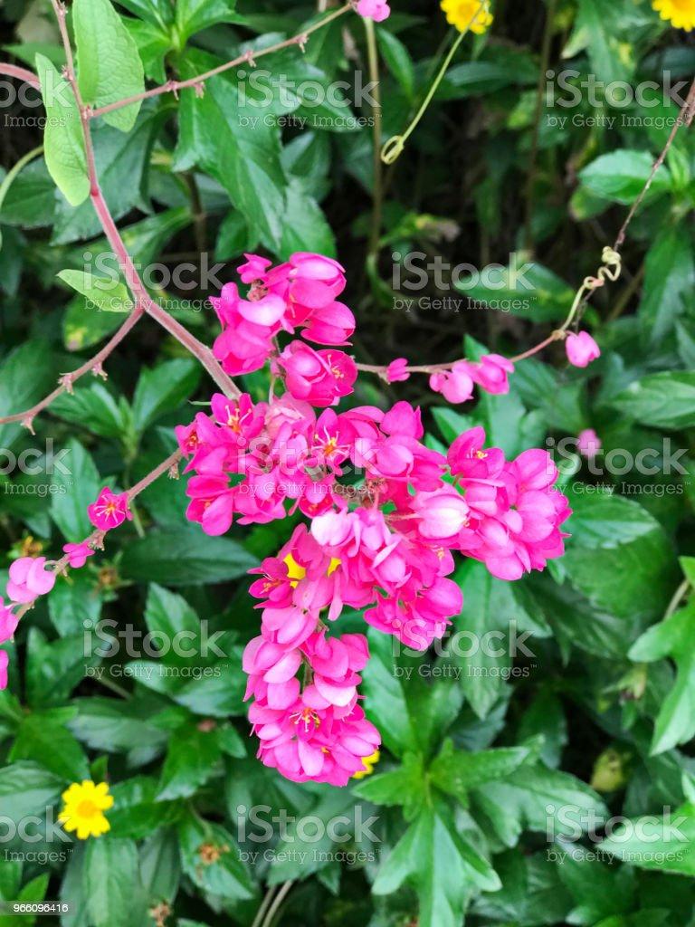 Antigonon leptopus eller mexikanska creeper eller Bee bush eller Corol vine eller San Miguelito vinstockar eller kedja av kärlek blommor. - Royaltyfri Beskrivande färg Bildbanksbilder