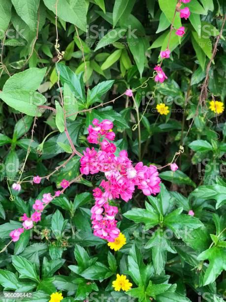 Antigonon Leptopus Eller Mexikanska Creeper Eller Bee Bush Eller Corol Vine Eller San Miguelito Vinstockar Eller Kedja Av Kärlek Blommor-foton och fler bilder på Beskrivande färg