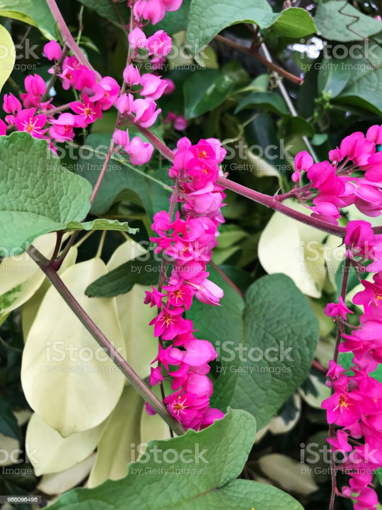 Antigonon leptopus or Mexican creeper or Bee bush or Corol vine or San Miguelito vine or Chain of love flowers. - Royalty-free Ao Ar Livre Foto de stock