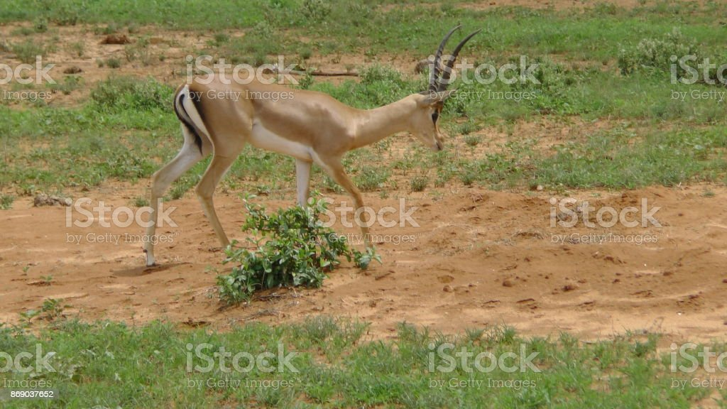 Antilopen Gazellen Springbock stock photo