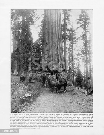 Antique American Photograph: Wawona Big Tree, Mariposa Grove, California, United States, 1893: Original edition from my own archives. Copyright has expired on this artwork. Digitally restored.