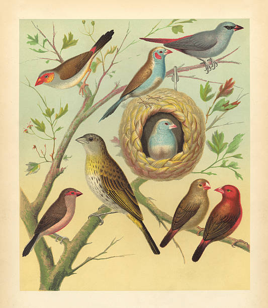 """Antique Bird Print - Canaries and Finches """"Beautiful, richly-colored bird print, depicting the Orange-Cheeked Waxbill, Saffron Finch, and other cage birds, from The Illustrated Book of Canaries and Cage-Birds, British and Foreign, published in London by Cassell & Co. between 1877 and 1880. The artist is William Rutledge.The original chromolithograph was scanned to 7313 x 8394 pixels."""" 1880 stock pictures, royalty-free photos & images"""