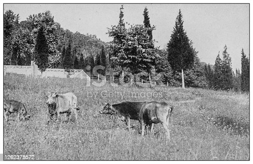 Antique black and white photo: Cattle from Dover plains, New York