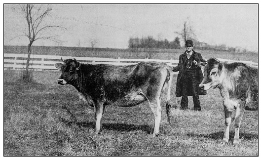 Antique black and white photo: Cows and man