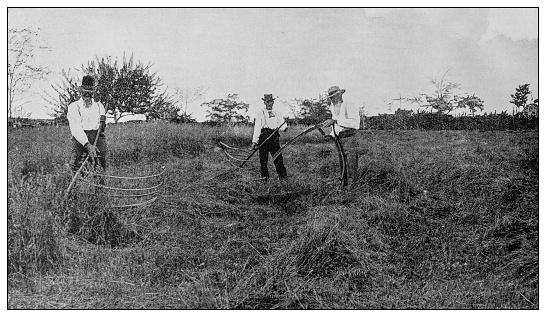 Antique black and white photo: Harvesting
