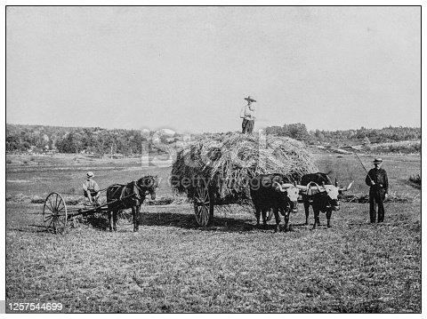 Antique black and white photo: Haying scene near Raymond, Maine