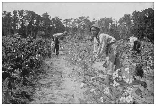 Antique black and white photo of the United States: Picking cotton