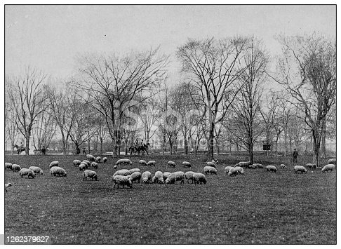 Antique black and white photo: Sheep in Central Park