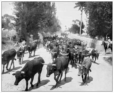 Antique black and white photograph of people from islands in the Caribbean and in the Pacific Ocean; Cuba, Hawaii, Philippines and others: Driving cattle to market, Cuba