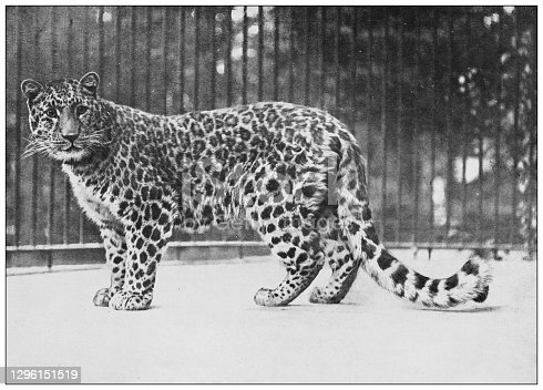istock Antique black and white photograph of animals: Felis fontanierii, North China panther 1296151519