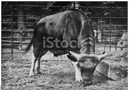 istock Antique black and white photograph of animals: gayal (Bos frontalis) 1296170619
