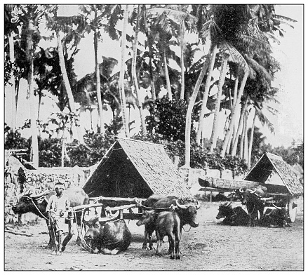 Antique black and white photograph of people from islands in the Caribbean and in the Pacific Ocean; Cuba, Hawaii, Philippines and others: Timber carts, Luzon, Philippines